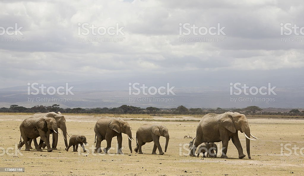 Herd of elephants with babies in Amboseli National Park Kenya. stock photo