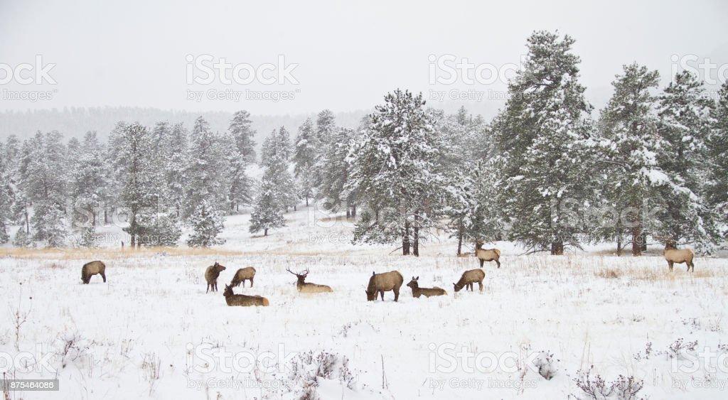 Herd of elk in a mountain meadow in winter stock photo