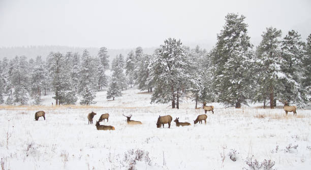 Herd of elk in a mountain meadow in winter stock photo