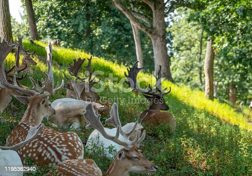 istock Herd of Fallow Deer in the Forest 1195362940