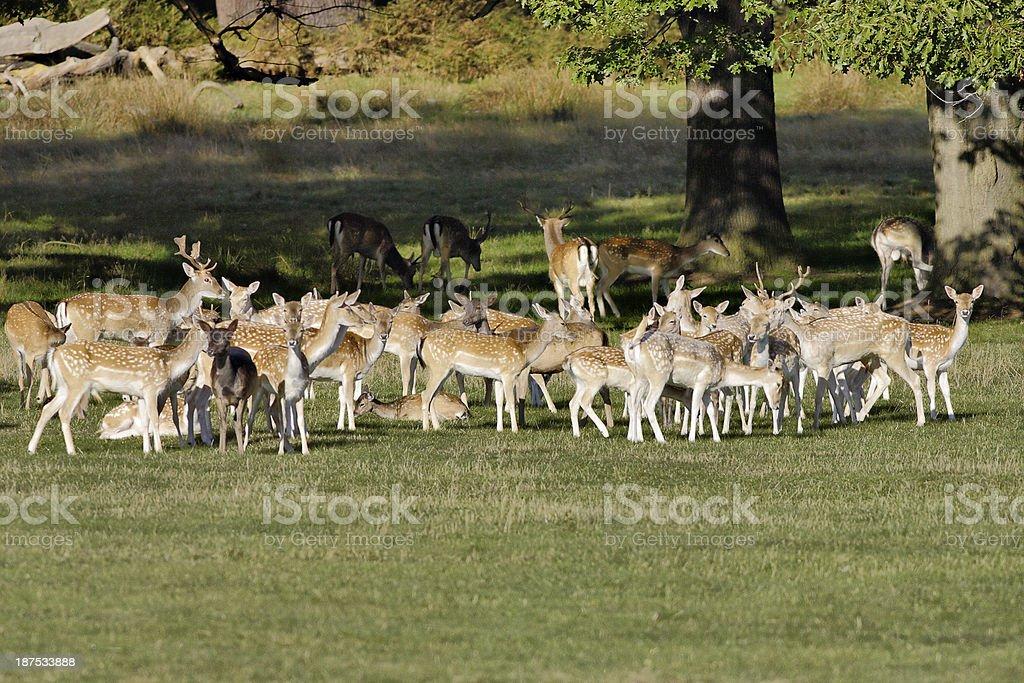 Herd of fallow deer on grassy plain royalty-free stock photo