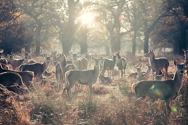 Herd of female deers stock photo