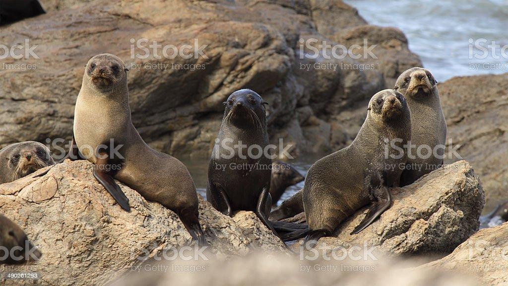 Herd Of Fur Seals stock photo