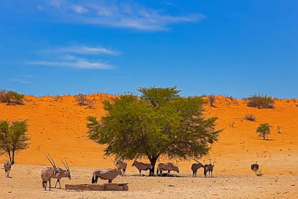 herde von gemsbok am wasserloch in kalahari - afrikanische steppe dürre stock-fotos und bilder