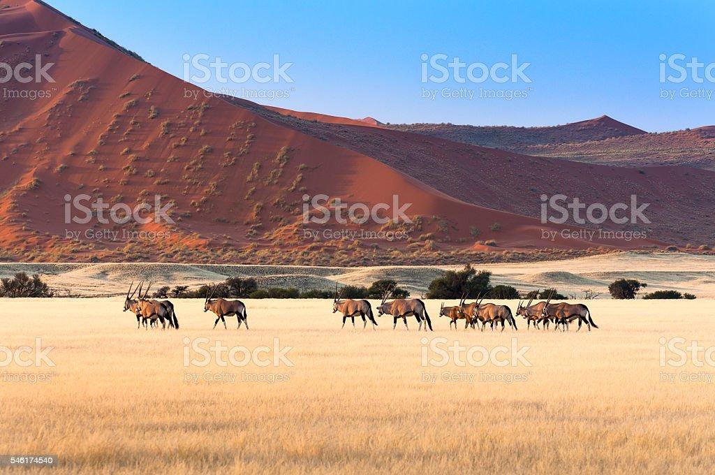 Herd of Gemsbok in Sossusvlei stock photo
