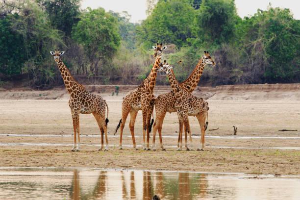 herde von giraffe stehend auf den teilweise trockenen flussbett in south luangwa national paek, sambia - sambia stock-fotos und bilder