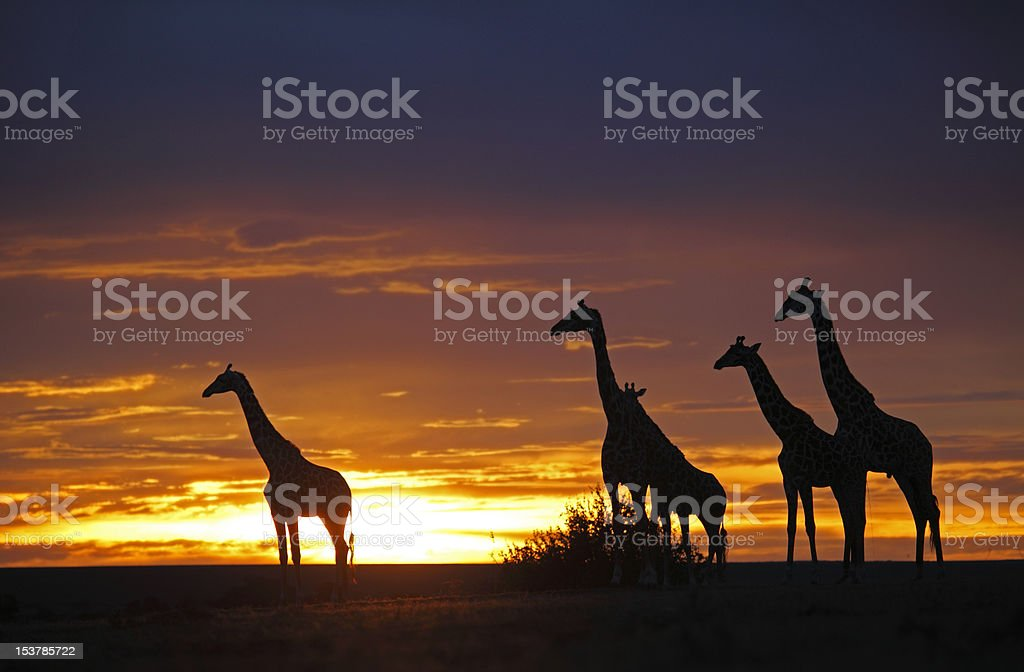 herd of giraffes in the Sunset stock photo