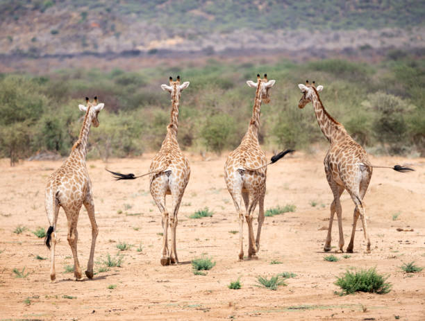 Herd of Giraffes walking through the Savannah waging their Tails, Namibia stock photo