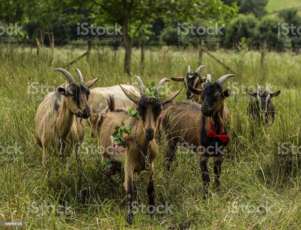 herd of goats and green field stock photo