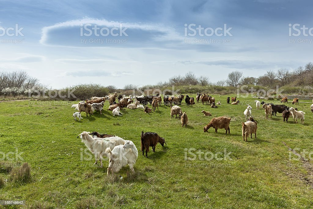Herd of goats in countryside stock photo