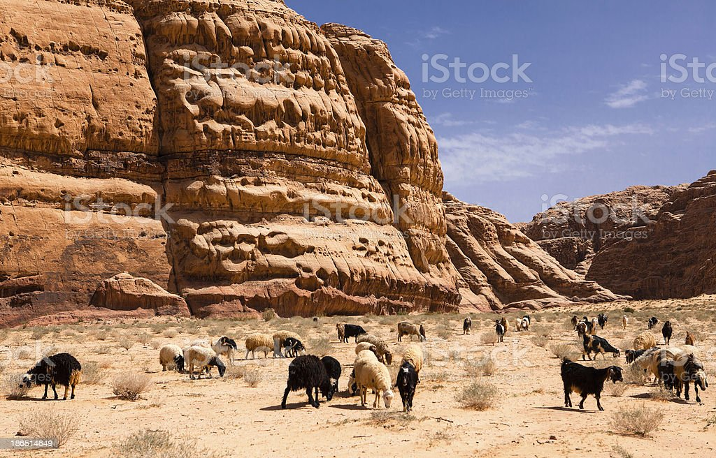 Herd of goats in rocky Wadi rum desert royalty-free stock photo