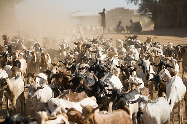 Herd of goats in the dust stock photo