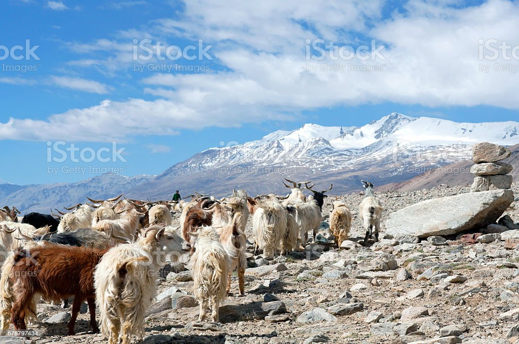 Herd of goats in the Indian Himalayas stock photo