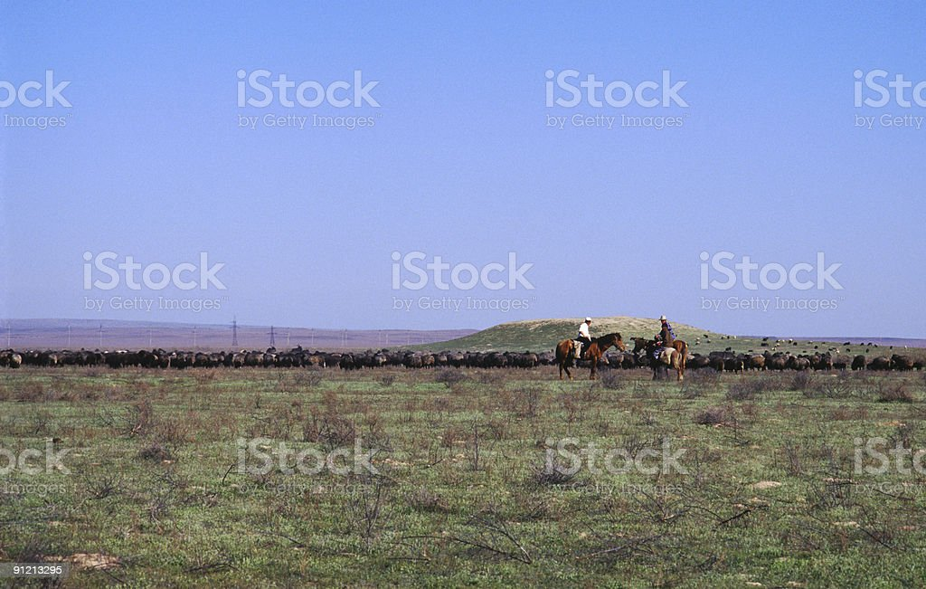 Herd of goats, Kazakhstan royalty-free stock photo