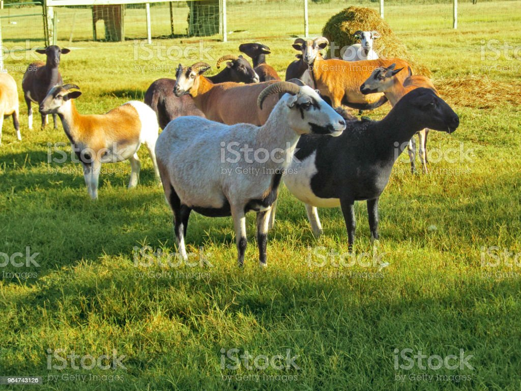 Herd of goats (Texan sheep) on a ranch in Texas. royalty-free stock photo