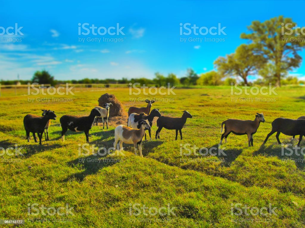 Herd of goats (Texan sheep) on a Texas ranch. royalty-free stock photo