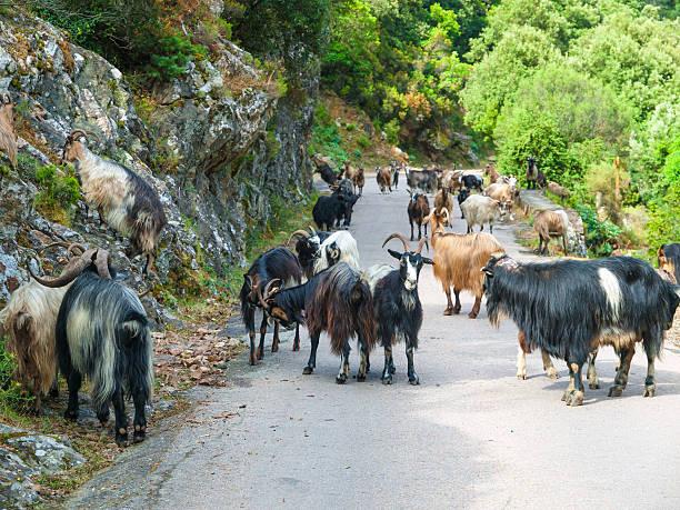 troupeau de chèvres sur la route - randonnée corse photos et images de collection