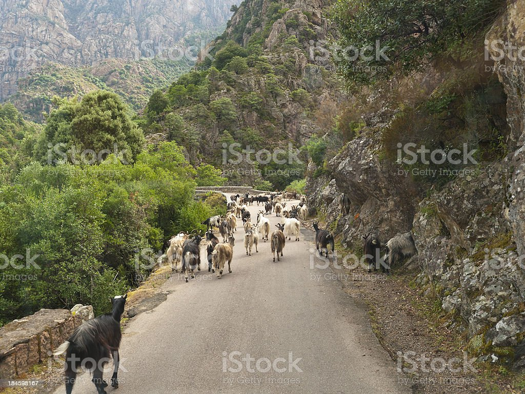 herd of goats on the road stock photo