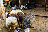 Herd of goats, rams and sheeps in corral on farm