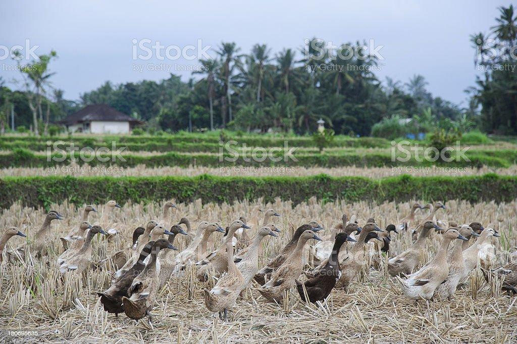 Herd of  Goose royalty-free stock photo