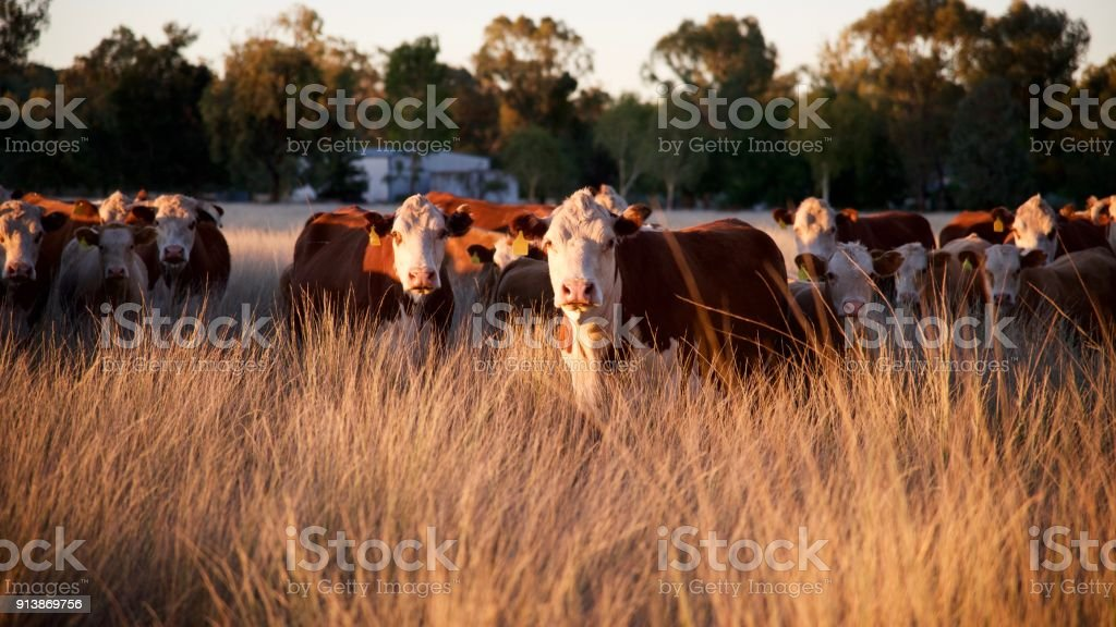 Herd of grass fed beef cattle stock photo