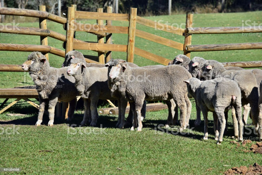 A herd of gray sheep stock photo