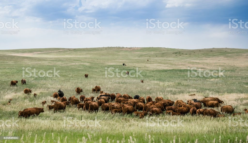 Herd of grazing cows on a vast field in Colorado. Rural landscape in the USA stock photo