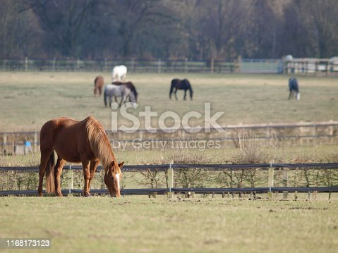 A single horse grazes in a field with a herd of horses in the background