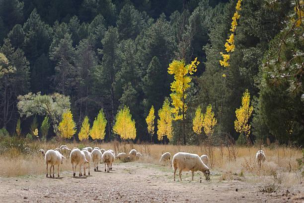 Herd of grazing sheep stock photo