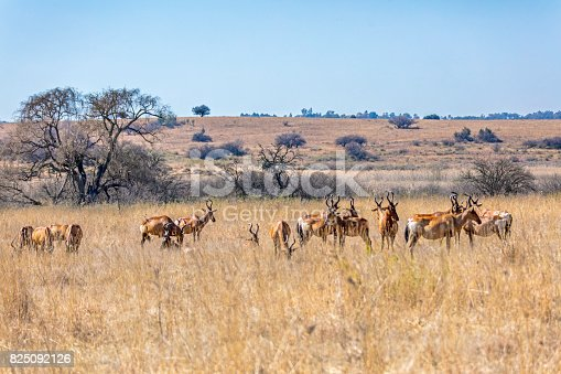 Hartebeest herd seen here in a nature reserve landscape in South Africa.