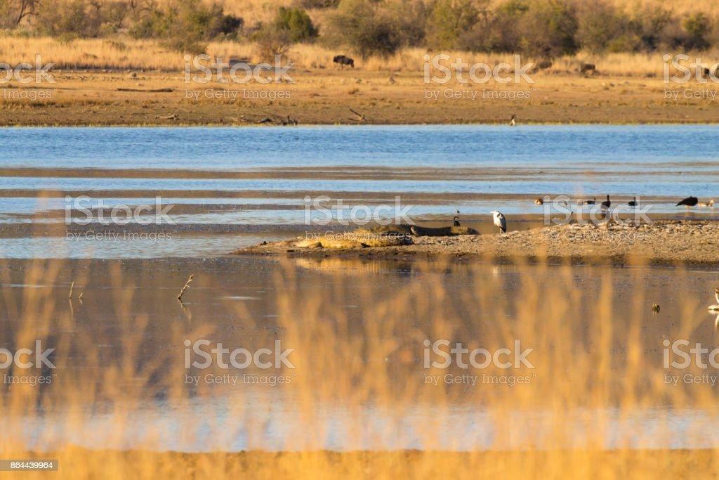 Herd of hcrocodiles sleeping, Pilanesberg National Park, South Africa stock photo