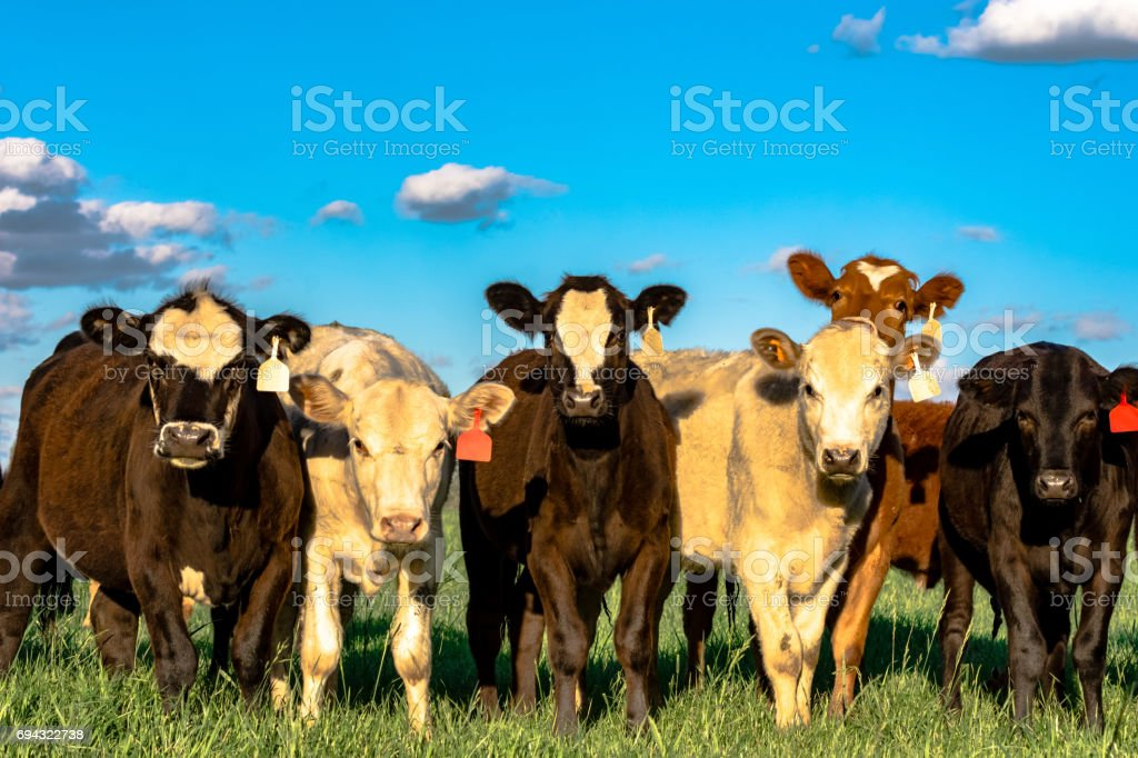 Herd of heifers with blue sky stock photo