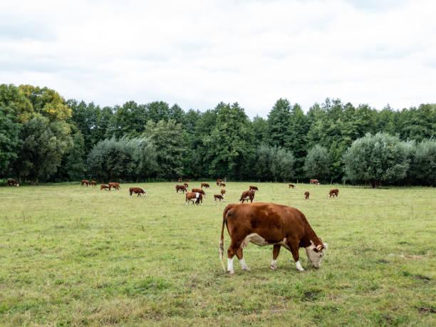 rebanho de gado hereford está pastando em um prado - foto de acervo