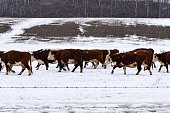 A herd of Hereford beef cattle walking in a pasture during the winter with snowflakes falling.  Bare Trees in the background.
