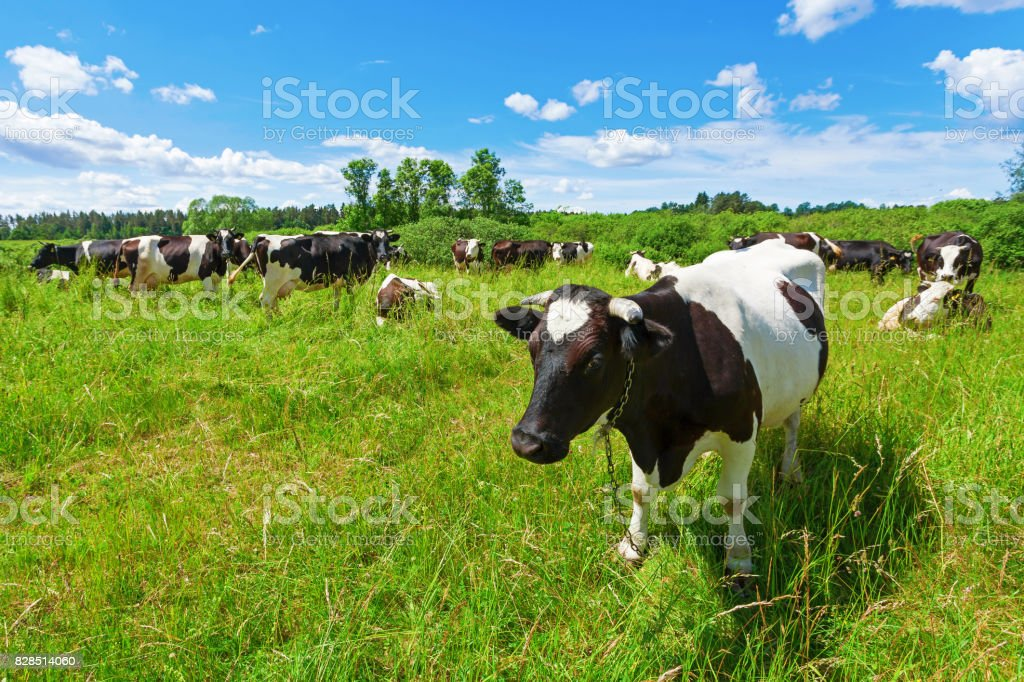 A herd of Holstein Fresian cows grazing on a pasture under blue cloudy sky stock photo
