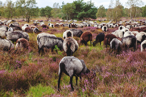 Herd of horned grey sheep (Heidschnucke breed) - typical of Luneburger Heath nature reserve - are grazing among the blooming purple heather plants