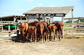 Purebred chestnut foals and mares eating forage in the corral summertime outdoor rural scene