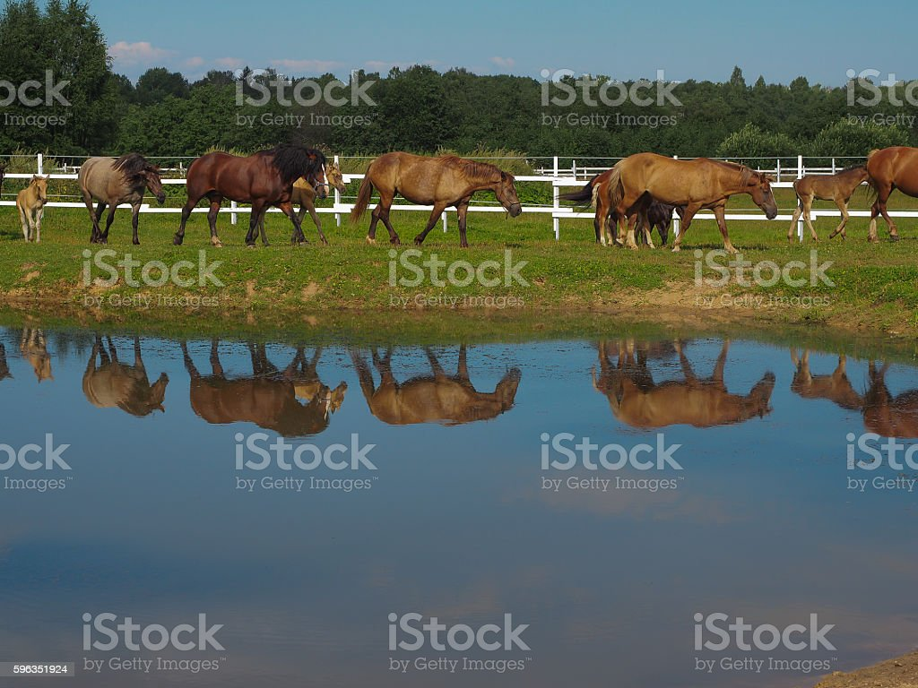 Herd of horses going to drink, Tver region, Russia royalty-free stock photo
