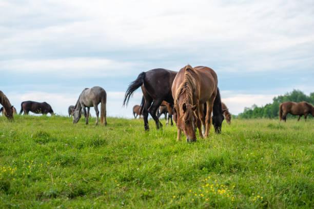 herde pferde grasen auf einer wiese, ländlichen landschaft mit bewölktem himmel - pferdezeitschrift stock-fotos und bilder