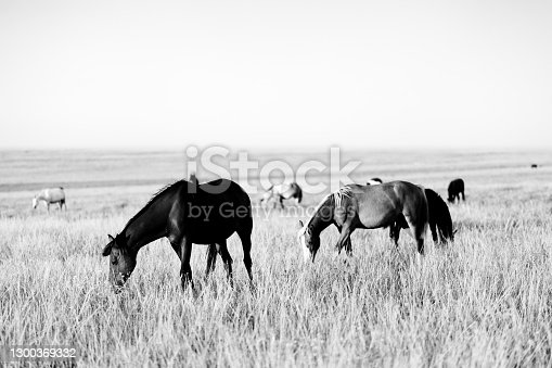 Herd of horses grazing in sunny pasture. Black and white toned landscape. High contrast.