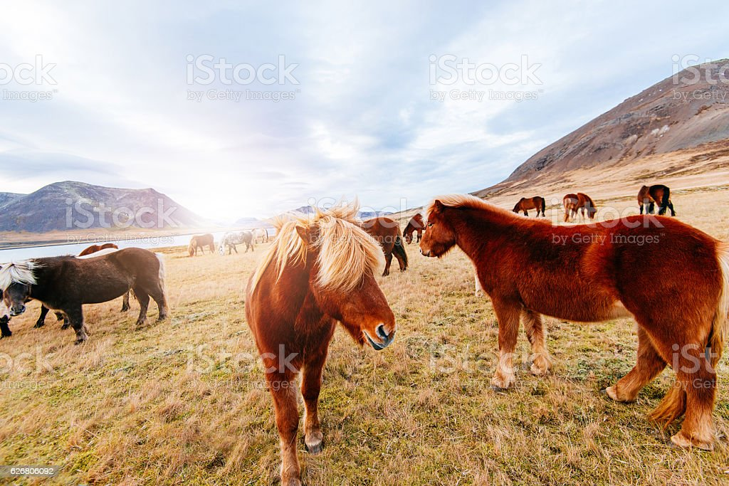 Herd of horses in Iceland, on Saefellsnes peninsula in North stock photo