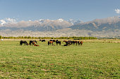 pasture in the mountains, herd of horses in the pasture, Kyrgyzstan, Issyk-Kul Region