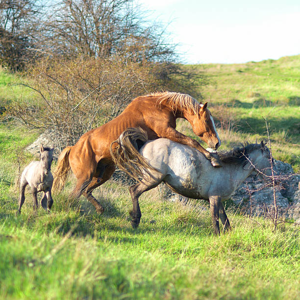 Royalty Free Horse Mating Pictures, Images and Stock ...