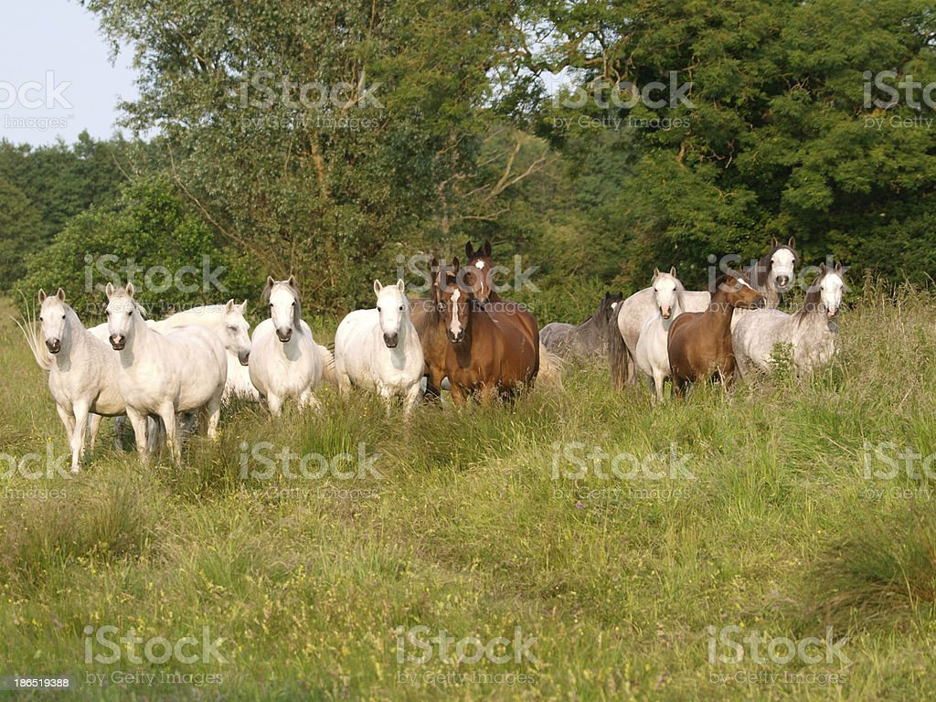 Herd Of Horses royalty-free stock photo