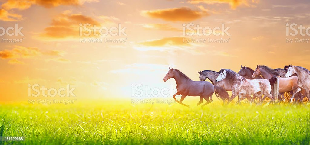 herd of horses running on pasture over sunset sky, banner stock photo