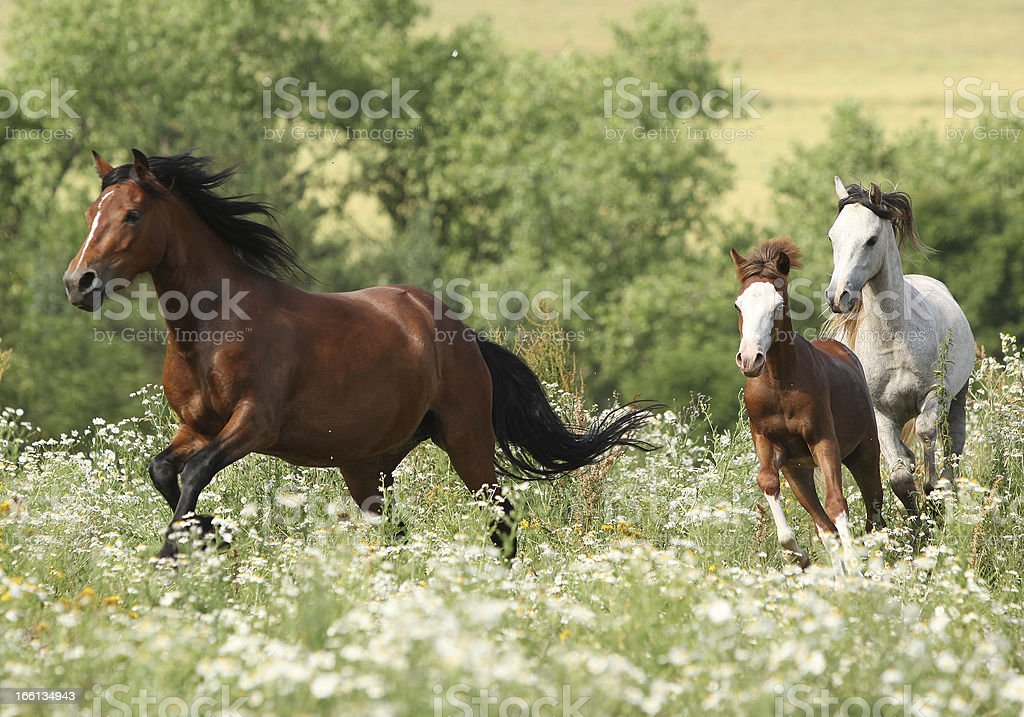 Herd of horses running stock photo