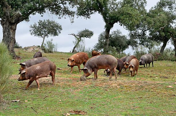 Rebaño de cerdos Ibérica y el oaks - foto de stock