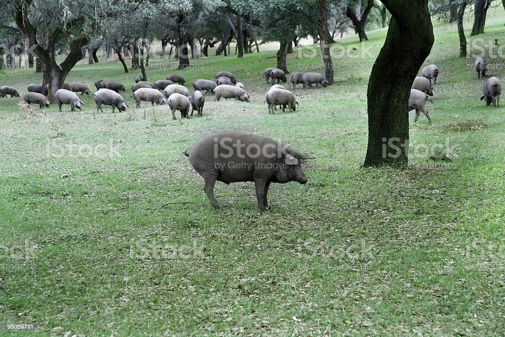 herd of iberian pigs stock photo