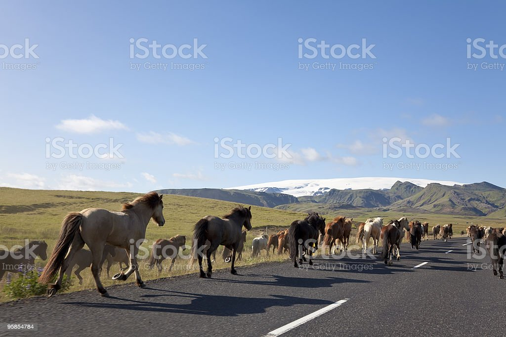 Herd of Icelandic Horses Running Down A Road royalty-free stock photo