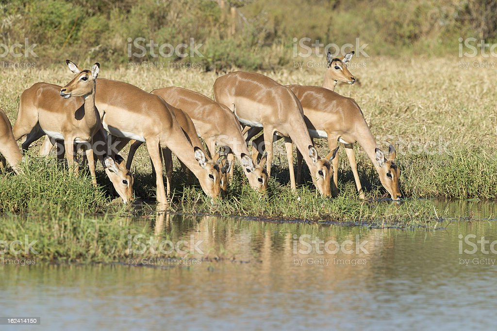 Herd of Impala drinking, South Africa royalty-free stock photo